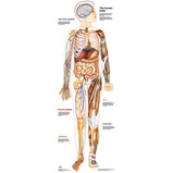 Life-Size Human Body Poster